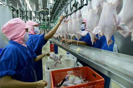 proses pemotongan ayam modern